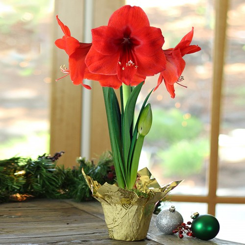 Amaryllis Potted Bulb Kit