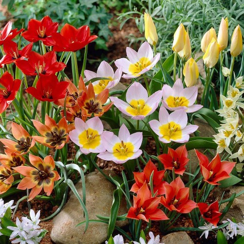 Ground Cover Mixed Tulips