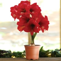 Mini Amaryllis Set (Flower & Pot)