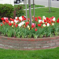 Tulip Bundle (Red, White, Pink)