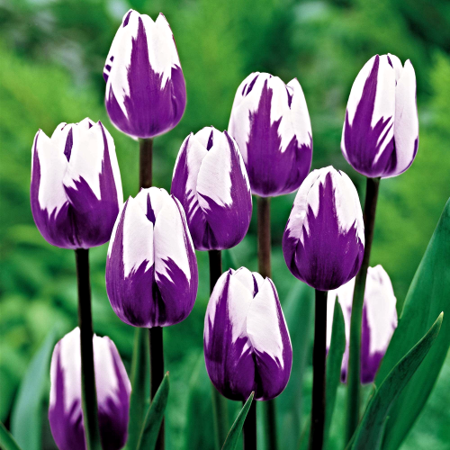 Blueberry Ripple Tulip