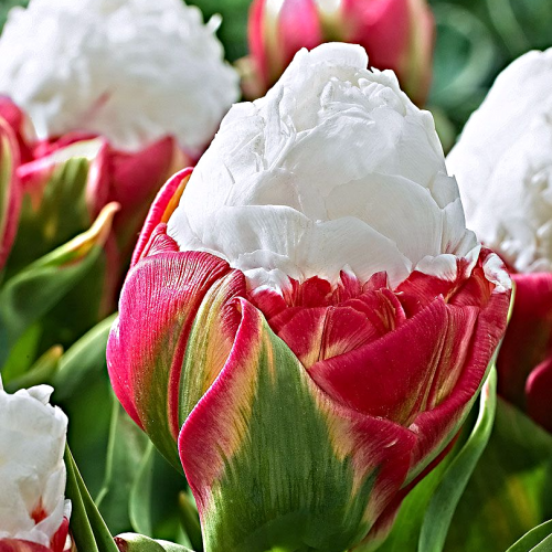 Double Ice Cream Tulips
