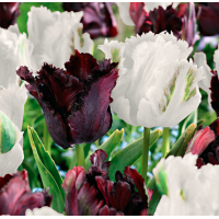 Black & White Parrot Tulip