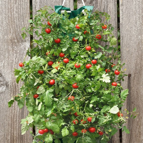Tomato bag for Gardening 4 less reviews