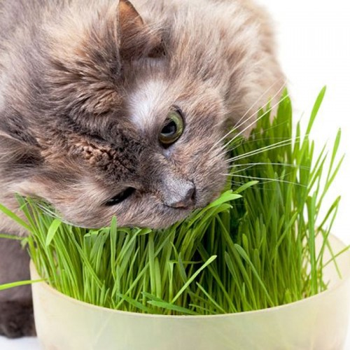 Cat Lovers Catnip - Cat Grass (2 Pack)
