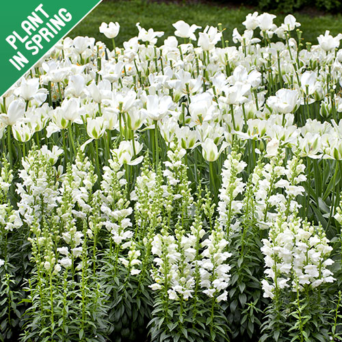 Midnight Moon White 25 Flower Bulb Collection