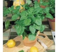 Citronella Plants with Pot & Soil
