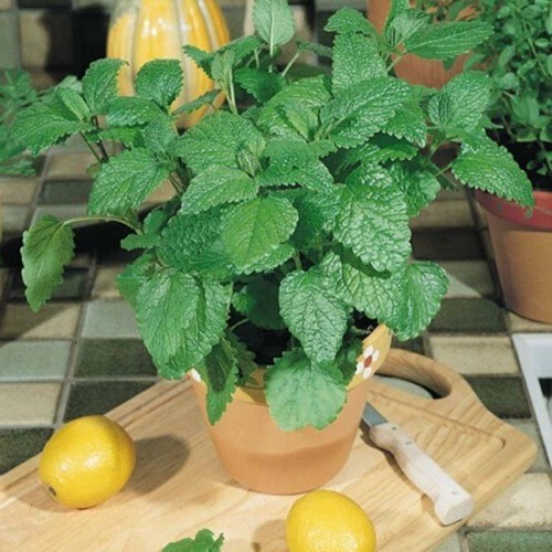 Citronella Plants with Pot & Soil