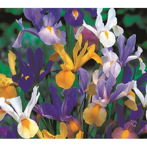Dutch iris mix flower bulbs for Gardening 4 less reviews
