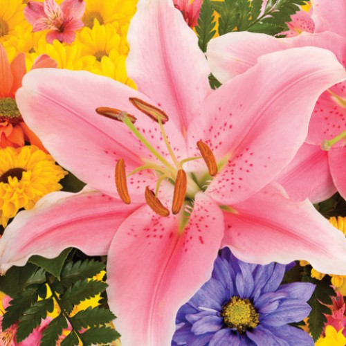 Giant stargazer oriental lily bulbs for Gardening 4 less reviews