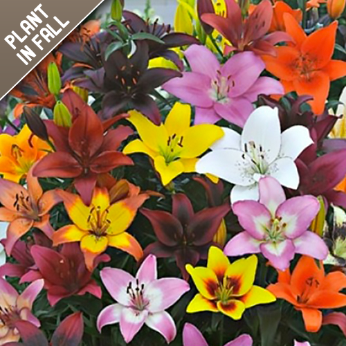 Asiatic Lily Flower Bulb Mixed Collection