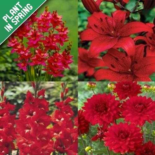 Cardinal Collection Red Flower Bulbs (25 Pack)