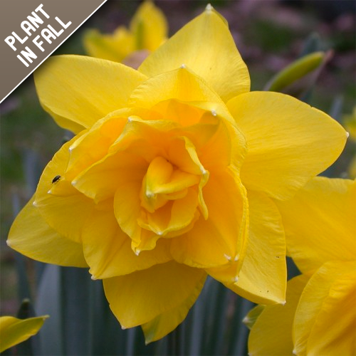 Double Daffodil Flower Bulbs