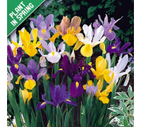 Dutch Iris Mix Flower Bulbs
