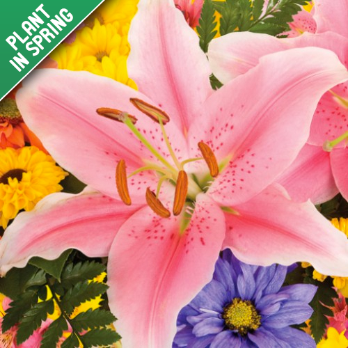 Giant Stargazer & Dwarf Oriental Lily Bulbs Collection