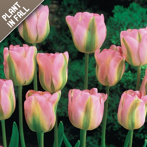 Greenland Rosy Pink Tulips
