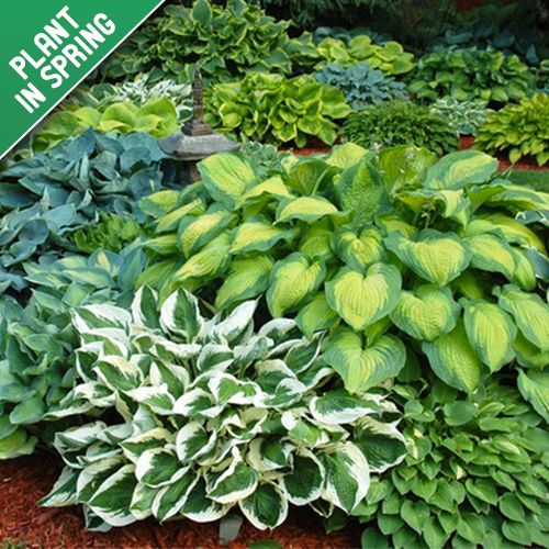 Hosta Perennial Mixed Plants (Bare Root)