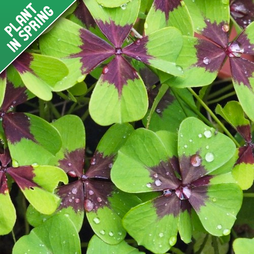 Iron Cross Oxalis Flower Bulbs