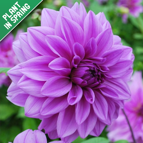 Lilac Time Dahlia Bulbs