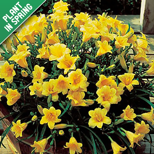 Mothers Daylily Hemerocallis Stella Flower Bulbs