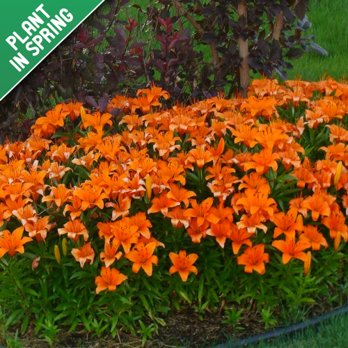 Orange Crush 25 Flower Bulb Collection