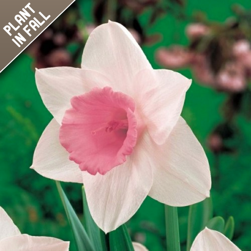 Pink Daffodil Flower Bulbs
