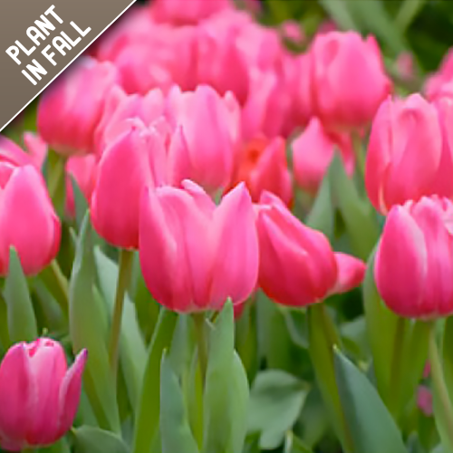 Pink Tulip Flower Bulbs