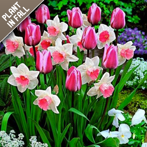 Pink Tulip/Daffodil Mixed Flower Bulb Collection
