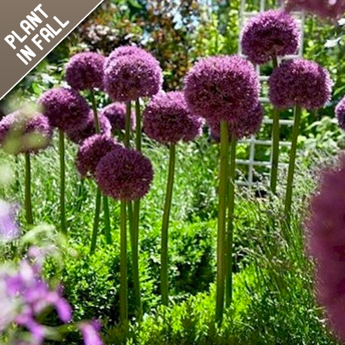 Purple Senstation Allium Flower Bulbs