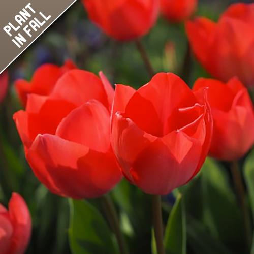 Ruby Red Tulip Flower Bulbs