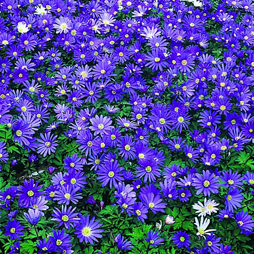 Blue flower bulb garden mixed collection 40 pack for Gardening 4 less reviews