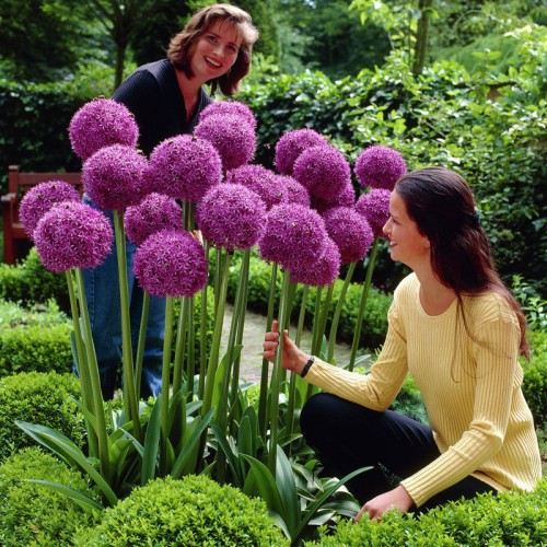 Giant allium giganteum for Gardening 4 less reviews