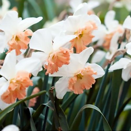 Pink daffodil flower bulbs mightylinksfo