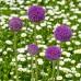 Purple Senstation Allium Flower Bulbs