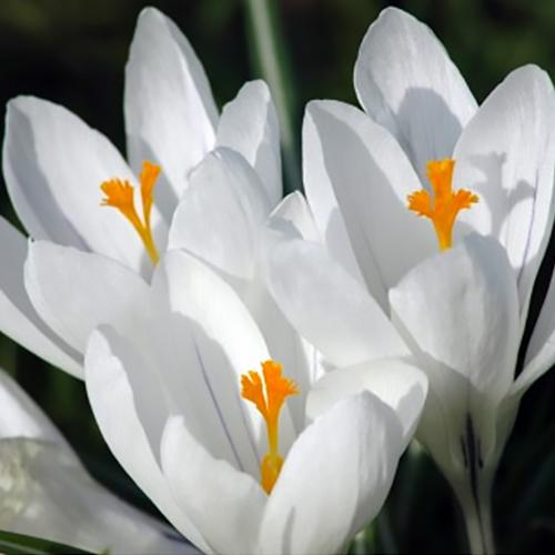 White flower bulb garden collection mightylinksfo