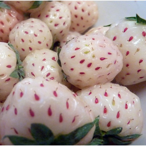 Carolina White Pineberry Bareroot Plants