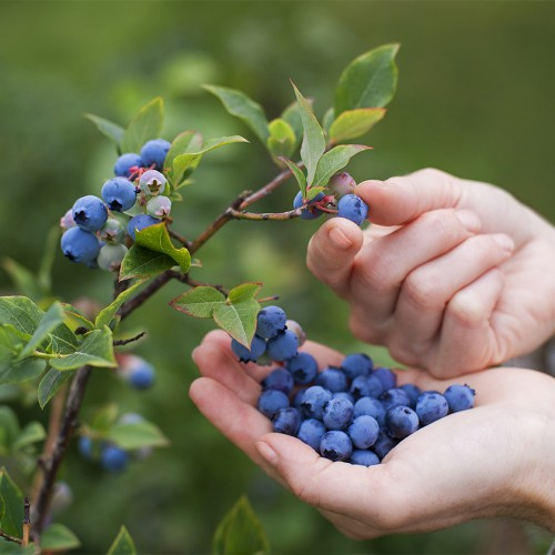 Granny's Giant Blueberry Plants (2-Pack)