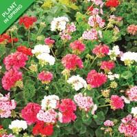 Geranium Flower Mix