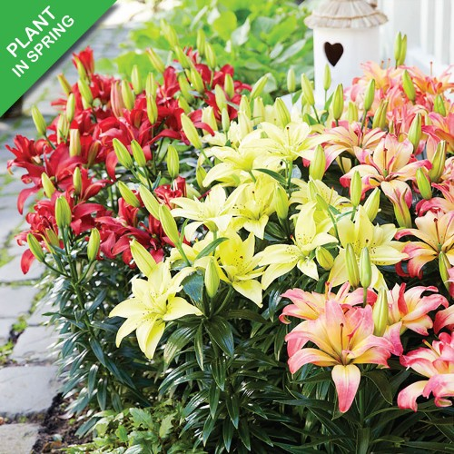 Lilium Oohs and Aahs Mix