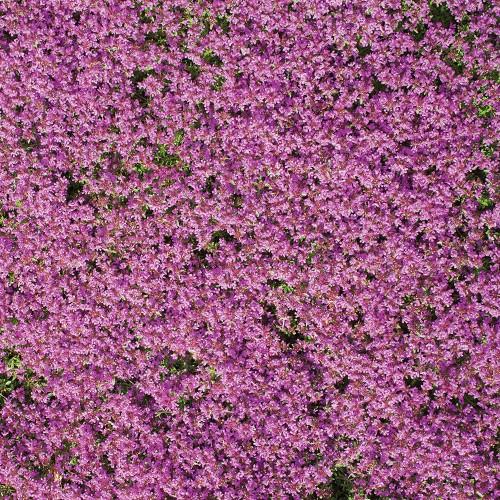 Creeping Carpet Thyme Seed Mat
