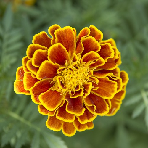 Merry Marigolds French Flower Seed Mat
