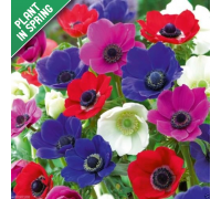 Anemone De Caen Mixed Flower Bulbs