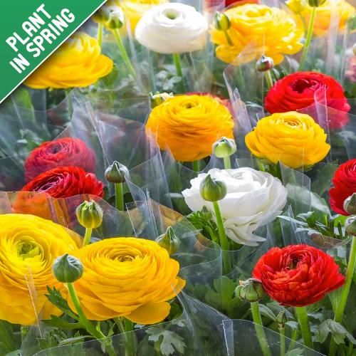 Persian Double Buttercup Flower Bulbs (15 Pack)